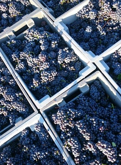 raisins-rouge-arbois-bio