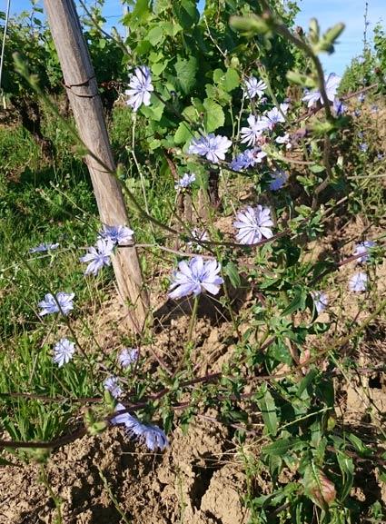 fleurs-dans-les-vignes